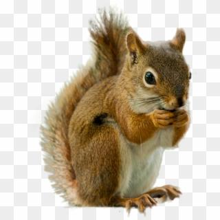 Free Squirrel PNG Images | Squirrel Transparent Background